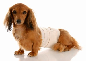 How To Wrap A Dog S Belly With An Ace Bandage